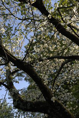 dogwood tree in bloom - spring is here!